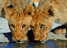Close Up Of Two Adolescent Lion Cubs Drinking From A Waterhole In Ongava, Etosha