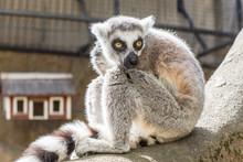 Dessa Glada Busiga Och Otroligt Gulliga Lemurer Finns På Skansen I Stockholm