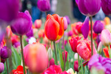 Fototapeta Tulips - Blooming flowers in Keukenhof park in Netherlands, Europe