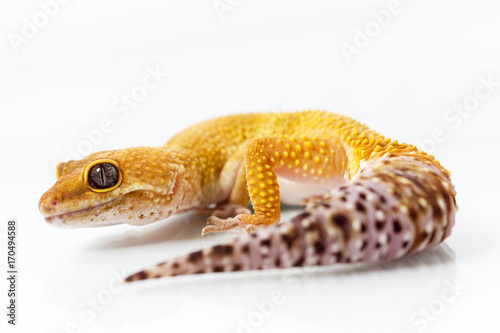 Orange leopard gecko walking and looking forward on white background