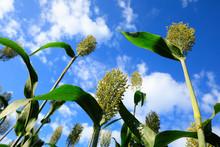 Jowar Grain Sorghum Crop Farm Under Blue Sky