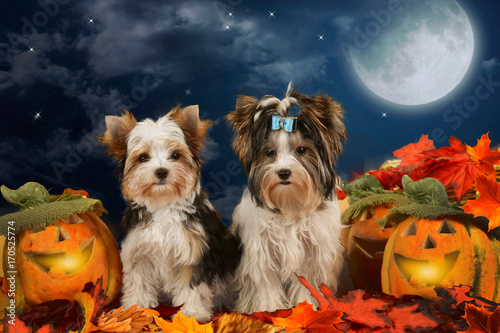 Deurstickers Franse bulldog Two dogs terrier sitting in halloween decoration
