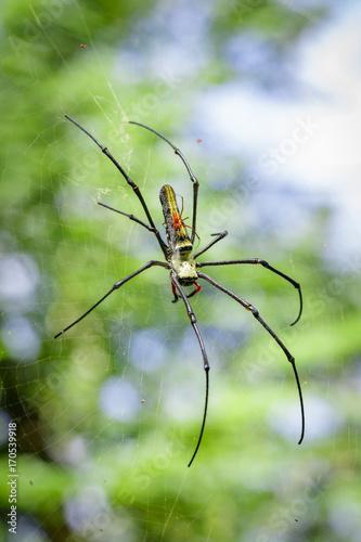 Plakat Obraz Pająk Nephila Maculata, Gaint Long-jawed Orb-tkacz (żeński i męski) w sieci. Owad zwierzę