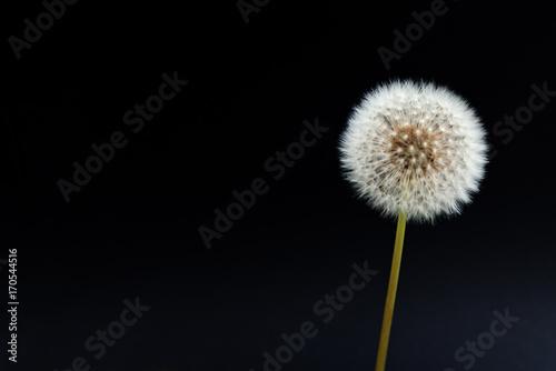 Staande foto Paardebloem Pusteblume mit schwarzem Hintergrund und Textfreiraum