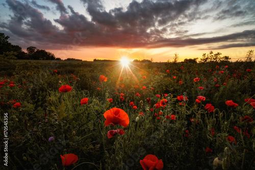 Fototapeta Poppy field at sunset obraz na płótnie