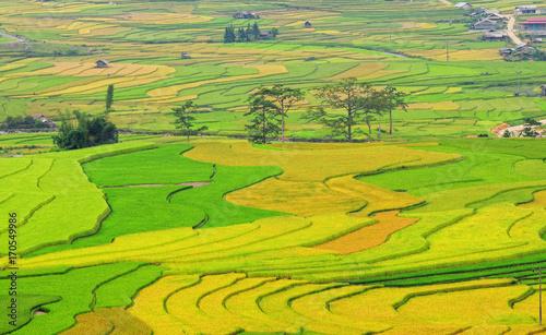 Poster Lime groen Landscape of rice field in Vietnam.
