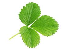Single Green Strawberry Leaf I...