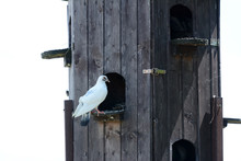 Domestic Pigeons In Their Own Birdhouse.