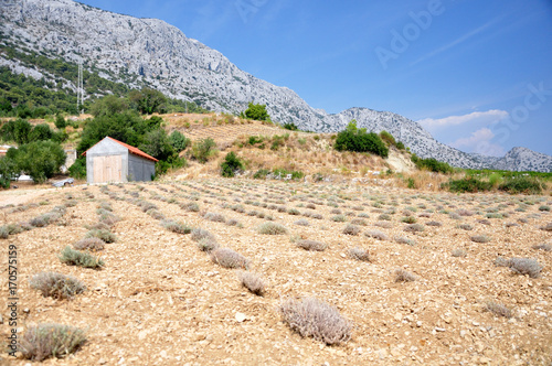 Widok na sierpniowe, zebrane pole lawendowe na zboczach gór Dalmacji. - 170575159