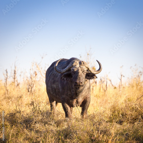 Foto op Aluminium Buffel Wild buffalos, Okavango Delta, Botswana
