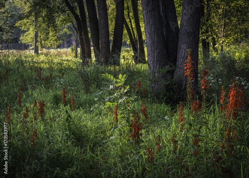 Early morning sunlight streams into a woodland border where the crimson blooms of the cardinal flower stand tall above the prairie grasses. DuPage County, Illinois.