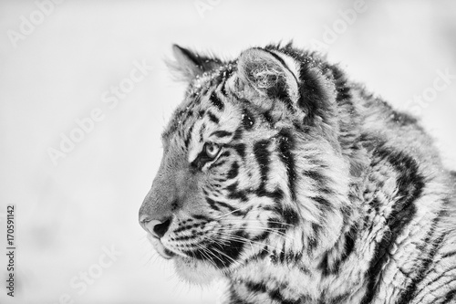 Valokuva Tiger portrait in black and white