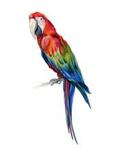 Scarlet Macaw Parrot. Ara Maca...