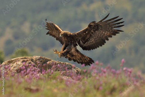 Deurstickers Vogel Golden eagle fly