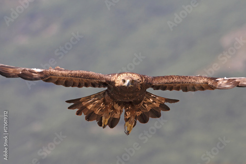 Poster Aigle Golden eagle fly