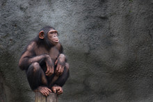 Young Chimpanzee Alone Portrai...