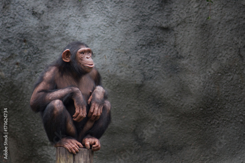 Young chimpanzee alone portrait, sitting crouching on a piece of wood with crossed legs and staring at the horizon in a pensive manner against a dark gray background.