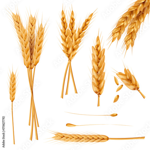Fototapeta Bunch of wheat ears, dried whole grains realistic vector illustration set isolated on white background. Cereals harvest, agriculture, organic farming, healthy food symbol. Bakery design element obraz