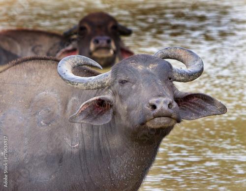 Staande foto Buffel Asian Water Buffalo (Bison) wallowing in a lake looking directly at camera in Udawallawe, Sri Lanka