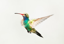 Broad Billed Hummingbird In Flight, Isolated On A White Background.