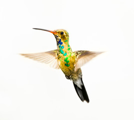 Broad Billed Hummingbird in...