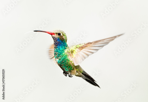 Broad Billed Hummingbird in flight, isolated on a white background Poster Mural XXL