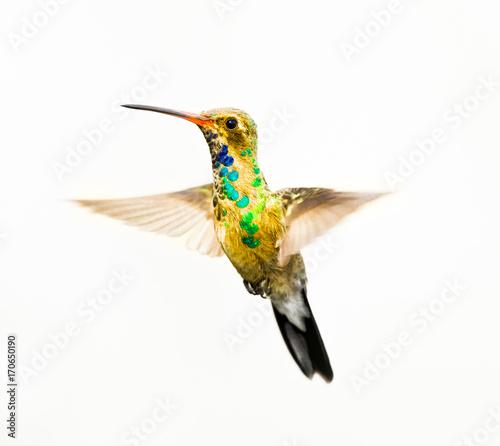 Broad Billed Hummingbird in...