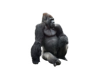 Sitting Gorilla Isolated On Wh...