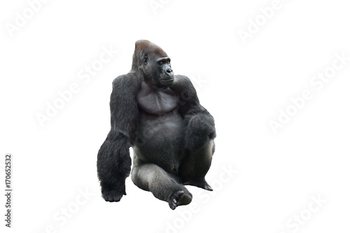 Foto op Plexiglas Aap Sitting gorilla isolated on white background