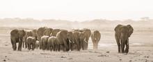 Herd Of Lephants At Amboseli N...