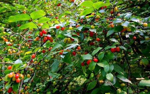 Zielona gałąź dzikiej wiśni obrośnięta zdrowymi, smacznymi owocami