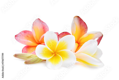 Poster Frangipani pink and white frangipani or plumeria (tropical flowers) isolated on white background