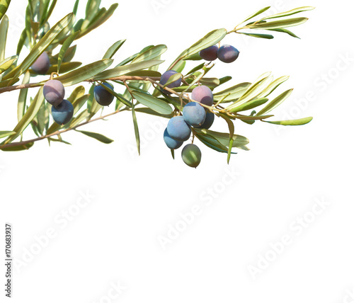 Papiers peints Oliviers Olive branches with olives and leaves isolated on white background.