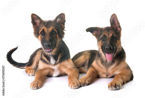 puppies german shepherd © cynoclub