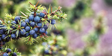Juniper, Juniperus Communis, L...