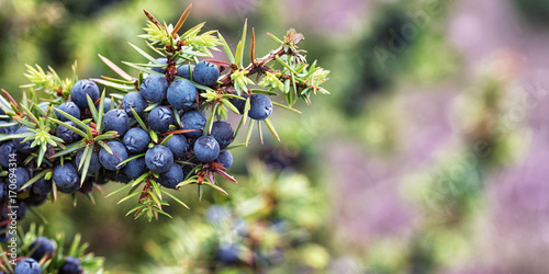 Fototapeta Juniper, Juniperus communis, Lüneburg Heath, Germany obraz