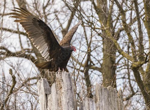 Keuken foto achterwand Uil Turkey Vulture