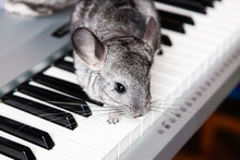 Chinchilla Sits On The Keys Of...