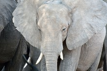 Elephant In Chobe National Park, Botswana