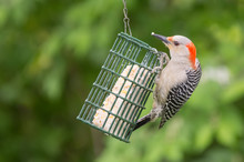 Red Bellied Woodpecker On Feeder