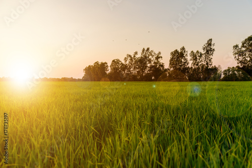 Photo sur Aluminium Sauvage Landscape of golden light with green rice meadow , relaxing photo , sunsets with lens flare effect