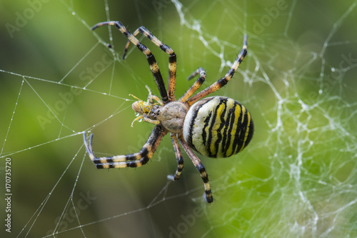 Wasp spider in web eating a froghopper, cornwall, uk