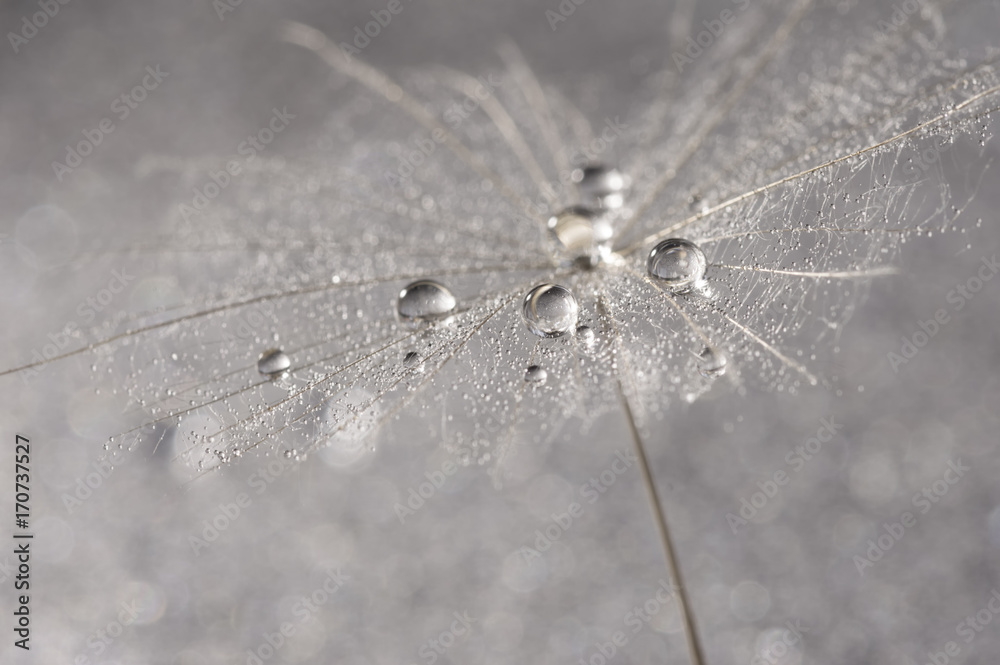 Fototapety, obrazy: Dandelion close-up with silver drops of dew. Selective focus