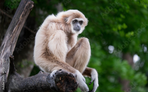 Fotomural The gibbon waiting something