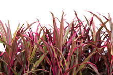 Cordyline Leaves Isolated On W...