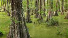 Bald Cypress Trees In Louisian...