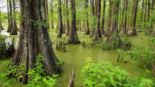 Louisiana Swamp And Cypress Trees At Cypress Island Preserve