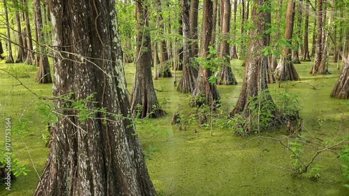 Bald Cypress Trees in Louisiana Swamp Canvas Print