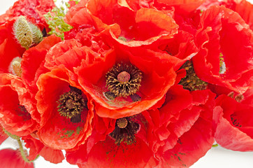 Naklejka Bouquet of red wild flowers of Papaver rhoeas close up (corn poppy, corn rose, field poppy), isolated on white background