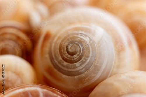 Spiral snail shells. Gastropod shells. Macro, closeup.